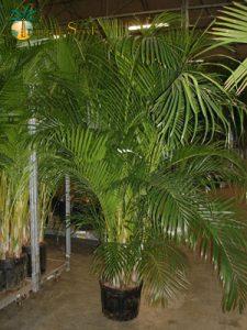 chrysalidocarpus-lutescen 3