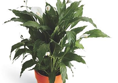 peace lily spathiphyllum mauna loa